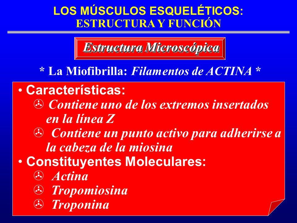 LOS MÚSCULOS ESQUELÉTICOS: ESTRUCTURA Y FUNCIÓN * La Miofibrilla: Filamentos de ACTINA * Estructura Microscópica Características: Contiene uno de los