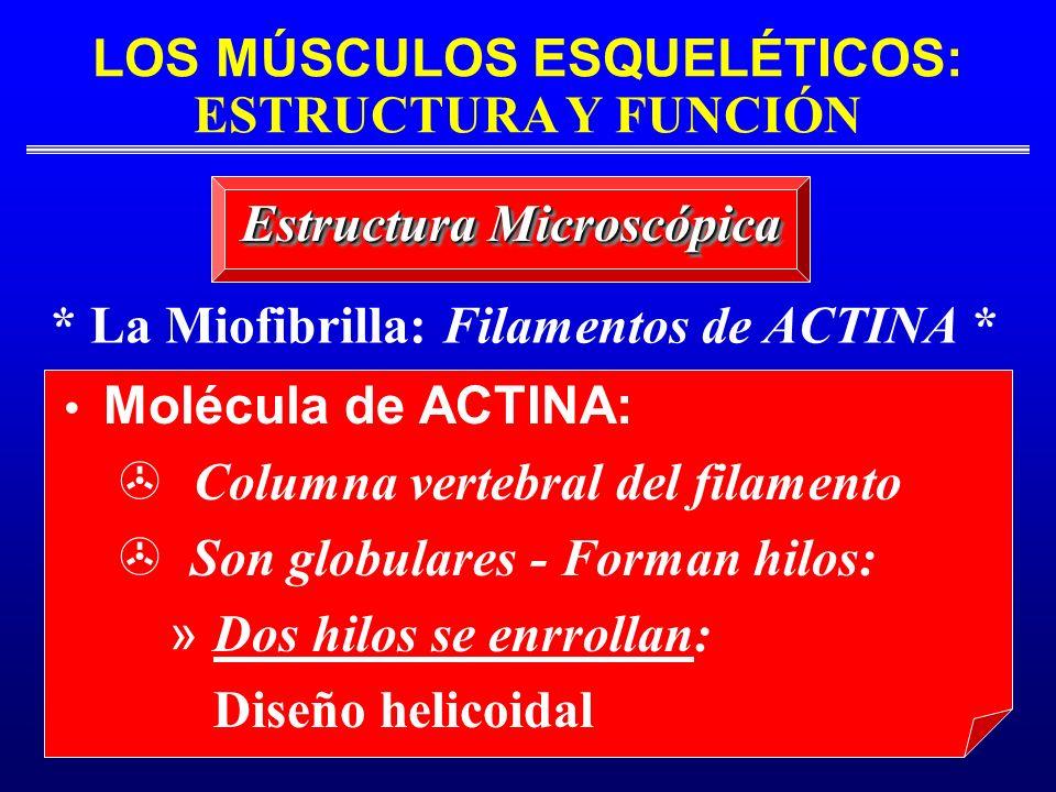 LOS MÚSCULOS ESQUELÉTICOS: ESTRUCTURA Y FUNCIÓN * La Miofibrilla: Filamentos de ACTINA * Estructura Microscópica Molécula de ACTINA: Columna vertebral