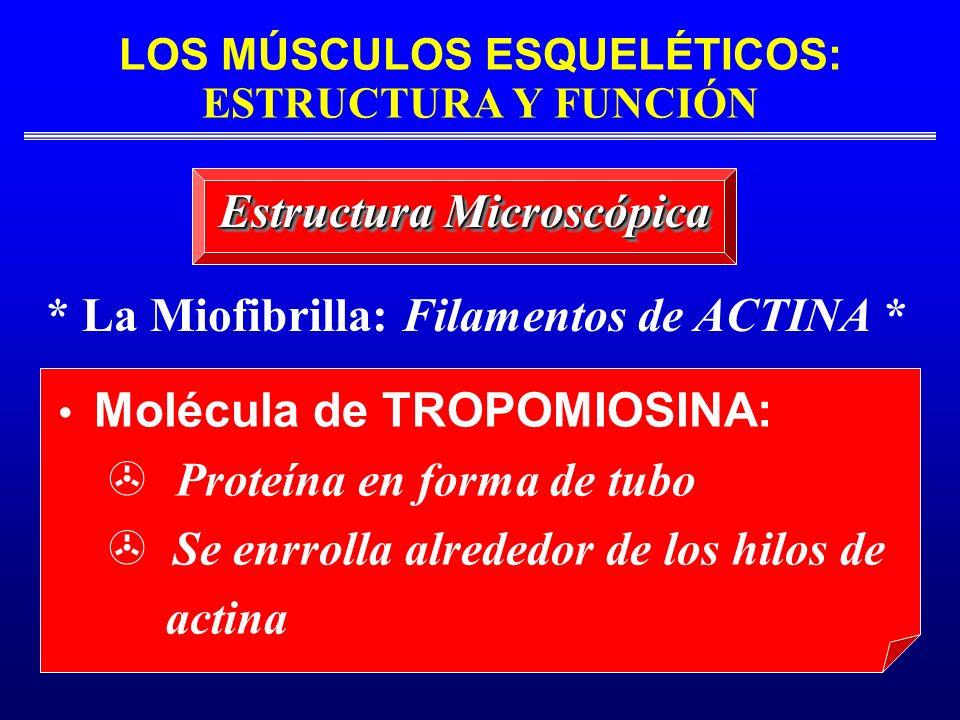 LOS MÚSCULOS ESQUELÉTICOS: ESTRUCTURA Y FUNCIÓN * La Miofibrilla: Filamentos de ACTINA * Estructura Microscópica Molécula de TROPOMIOSINA: Proteína en