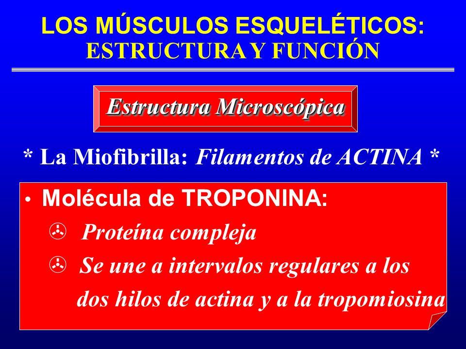 LOS MÚSCULOS ESQUELÉTICOS: ESTRUCTURA Y FUNCIÓN * La Miofibrilla: Filamentos de ACTINA * Estructura Microscópica Molécula de TROPONINA: Proteína compl