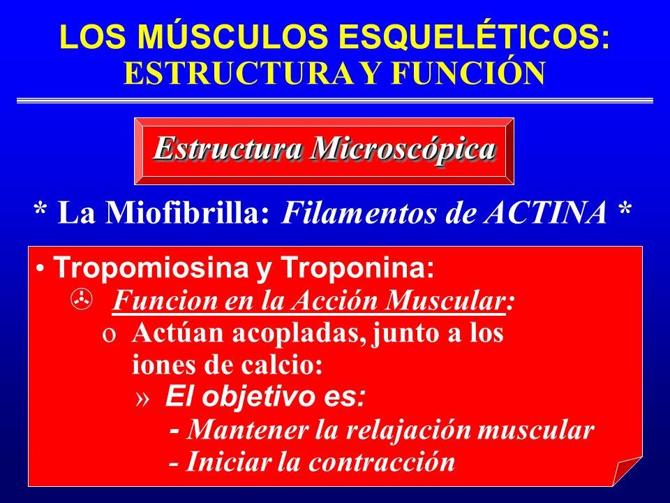 LOS MÚSCULOS ESQUELÉTICOS: ESTRUCTURA Y FUNCIÓN * La Miofibrilla: Filamentos de ACTINA * Estructura Microscópica Tropomiosina y Troponina: Funcion en