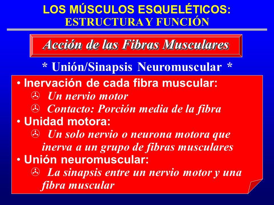 LOS MÚSCULOS ESQUELÉTICOS: ESTRUCTURA Y FUNCIÓN * Unión/Sinapsis Neuromuscular * Acción de las Fibras Musculares Inervación de cada fibra muscular: Un