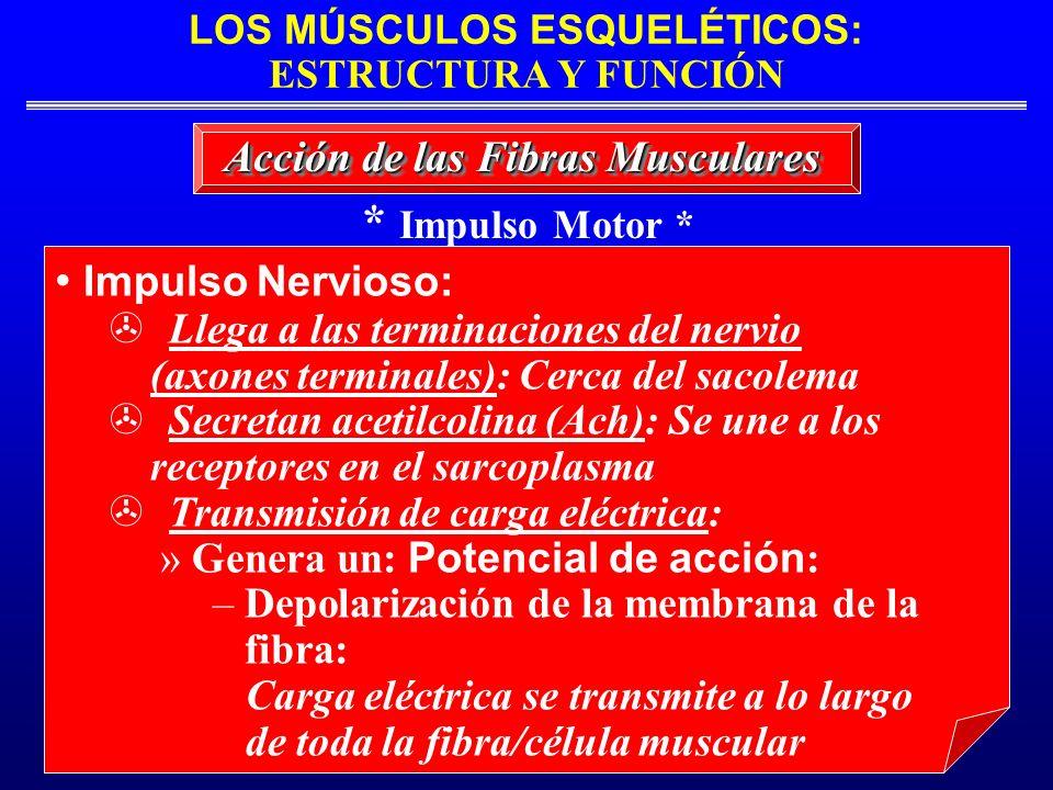 LOS MÚSCULOS ESQUELÉTICOS: ESTRUCTURA Y FUNCIÓN * Impulso Motor * Acción de las Fibras Musculares Impulso Nervioso: Llega a las terminaciones del nerv
