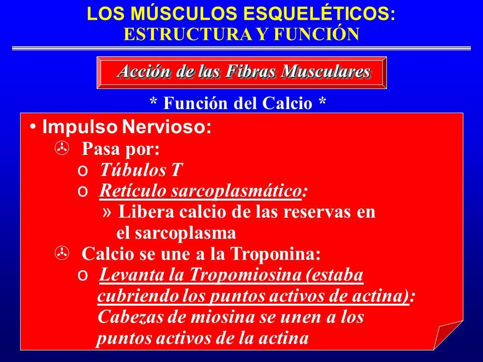 LOS MÚSCULOS ESQUELÉTICOS: ESTRUCTURA Y FUNCIÓN * Función del Calcio * Acción de las Fibras Musculares Impulso Nervioso: Pasa por: o Túbulos T o Retíc