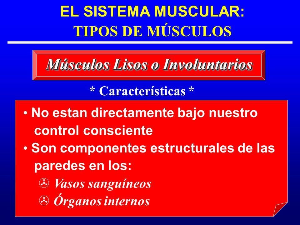 EL SISTEMA MUSCULAR: TIPOS DE MÚSCULOS Músculos Lisos o Involuntarios No estan directamente bajo nuestro control consciente Son componentes estructura