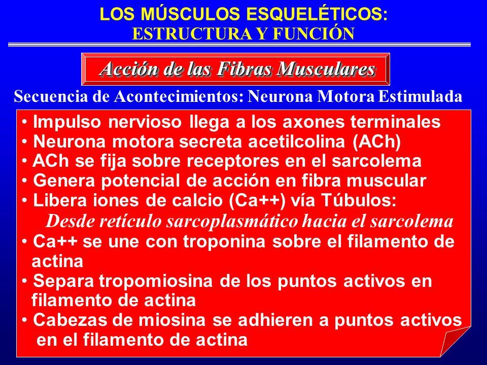 LOS MÚSCULOS ESQUELÉTICOS: ESTRUCTURA Y FUNCIÓN Secuencia de Acontecimientos: Neurona Motora Estimulada Acción de las Fibras Musculares Impulso nervio