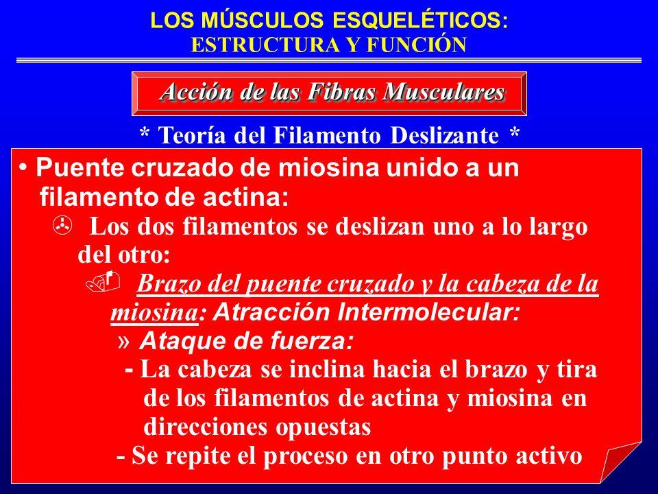 LOS MÚSCULOS ESQUELÉTICOS: ESTRUCTURA Y FUNCIÓN * Teoría del Filamento Deslizante * Acción de las Fibras Musculares Puente cruzado de miosina unido a