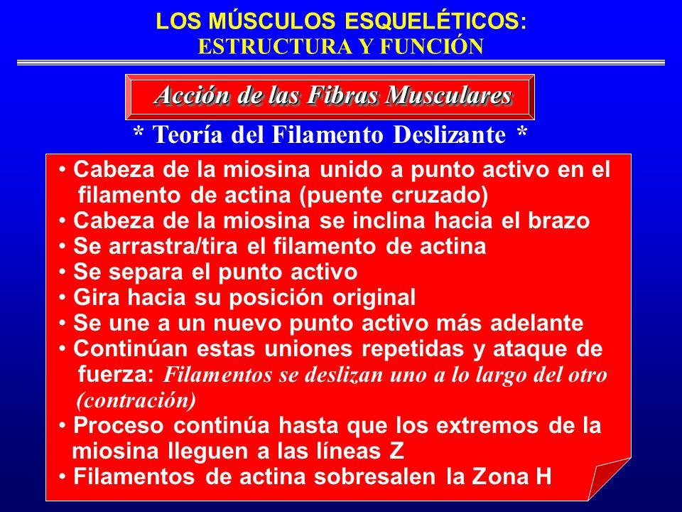LOS MÚSCULOS ESQUELÉTICOS: ESTRUCTURA Y FUNCIÓN * Teoría del Filamento Deslizante * Acción de las Fibras Musculares Cabeza de la miosina unido a punto