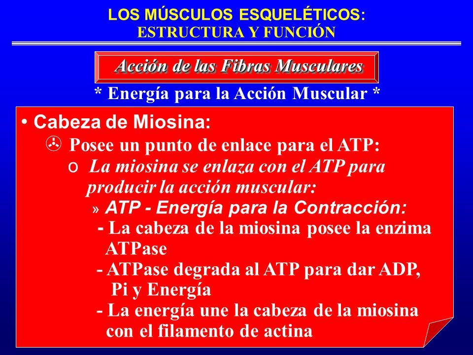 LOS MÚSCULOS ESQUELÉTICOS: ESTRUCTURA Y FUNCIÓN * Energía para la Acción Muscular * Acción de las Fibras Musculares Cabeza de Miosina: Posee un punto