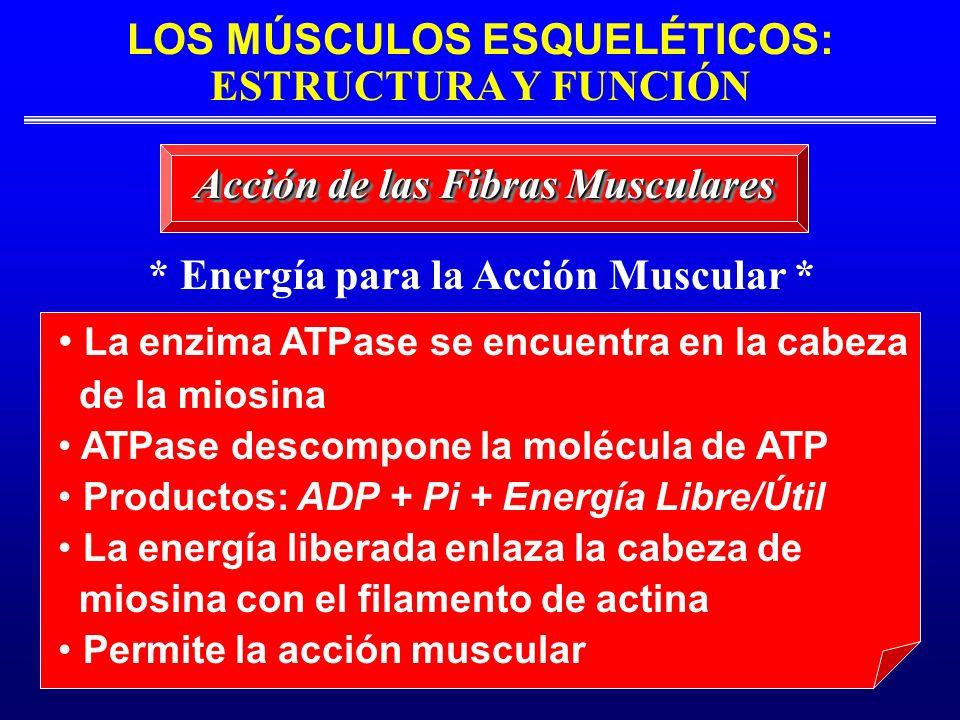 LOS MÚSCULOS ESQUELÉTICOS: ESTRUCTURA Y FUNCIÓN * Energía para la Acción Muscular * La enzima ATPase se encuentra en la cabeza de la miosina ATPase de