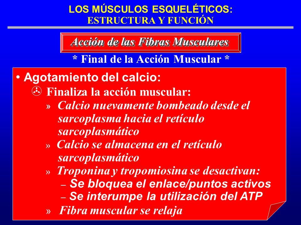 LOS MÚSCULOS ESQUELÉTICOS: ESTRUCTURA Y FUNCIÓN * Final de la Acción Muscular * Acción de las Fibras Musculares Agotamiento del calcio: Finaliza la ac