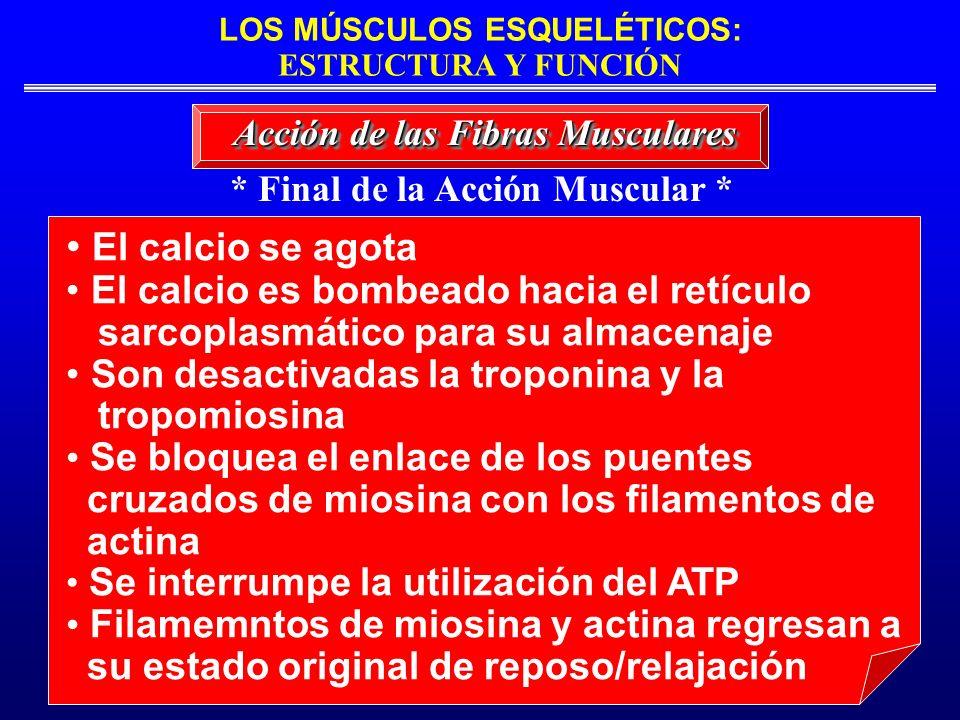 LOS MÚSCULOS ESQUELÉTICOS: ESTRUCTURA Y FUNCIÓN * Final de la Acción Muscular * Acción de las Fibras Musculares El calcio se agota El calcio es bombea