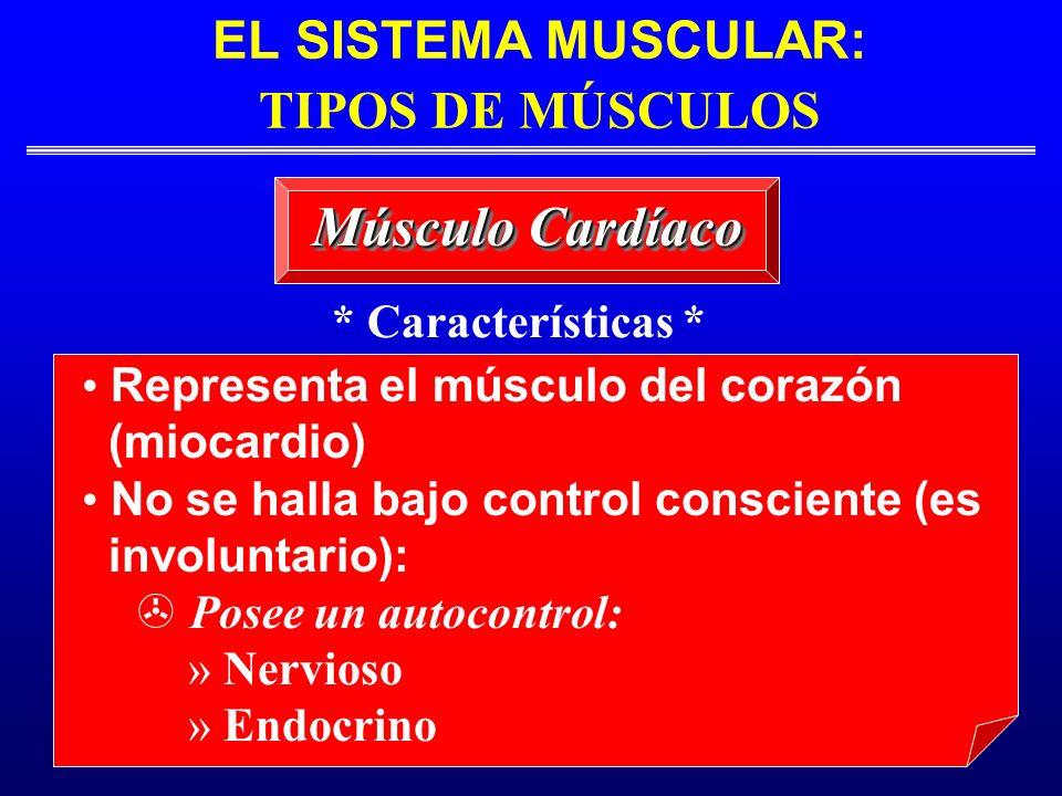 EL SISTEMA MUSCULAR: TIPOS DE MÚSCULOS Músculo Cardíaco Representa el músculo del corazón (miocardio) No se halla bajo control consciente (es involunt