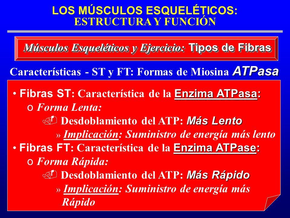 LOS MÚSCULOS ESQUELÉTICOS: ESTRUCTURA Y FUNCIÓN ATPasa Características - ST y FT: Formas de Miosina ATPasa Músculos Esqueléticos y Ejercicio: Tipos de