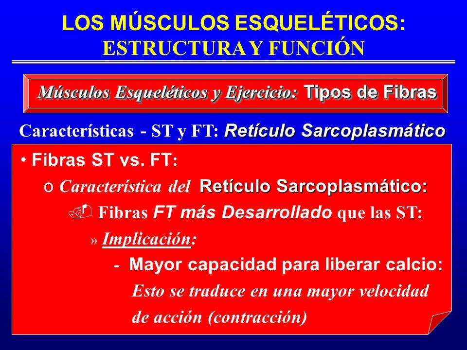 LOS MÚSCULOS ESQUELÉTICOS: ESTRUCTURA Y FUNCIÓN Retículo Sarcoplasmático Características - ST y FT: Retículo Sarcoplasmático Músculos Esqueléticos y E