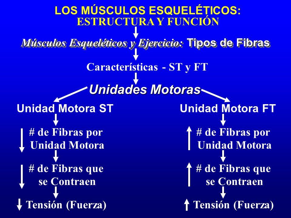 LOS MÚSCULOS ESQUELÉTICOS: ESTRUCTURA Y FUNCIÓN Características - ST y FT Músculos Esqueléticos y Ejercicio: Tipos de Fibras Unidad Motora STUnidad Mo