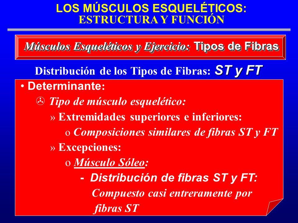 LOS MÚSCULOS ESQUELÉTICOS: ESTRUCTURA Y FUNCIÓN ST y FT Distribución de los Tipos de Fibras: ST y FT Músculos Esqueléticos y Ejercicio: Tipos de Fibra