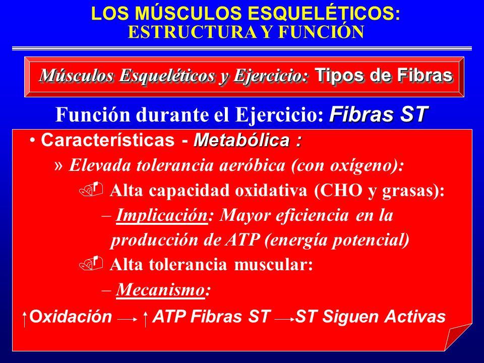 LOS MÚSCULOS ESQUELÉTICOS: ESTRUCTURA Y FUNCIÓN Fibras ST Función durante el Ejercicio: Fibras ST Músculos Esqueléticos y Ejercicio: Tipos de Fibras M