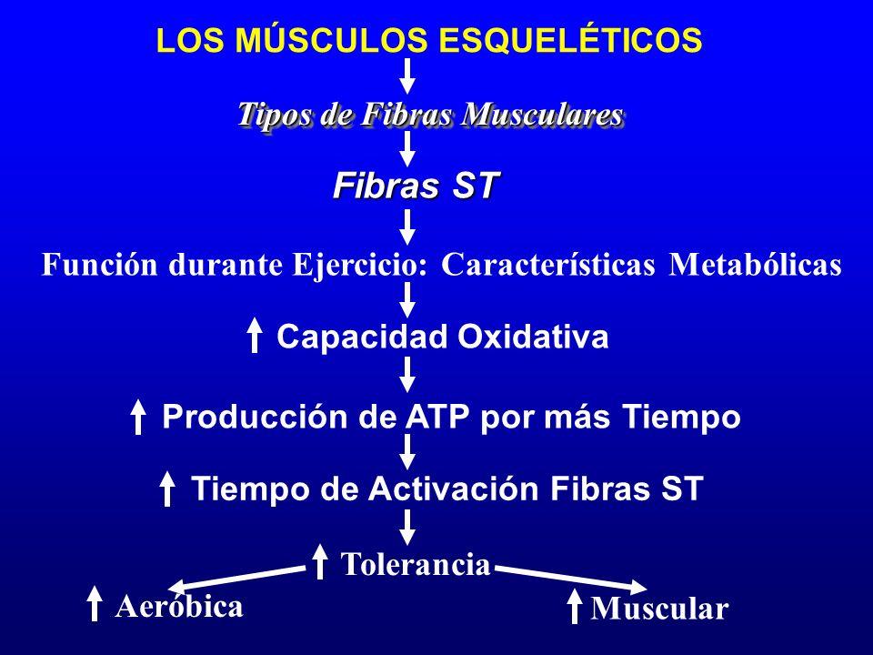 LOS MÚSCULOS ESQUELÉTICOS Función durante Ejercicio: Características Metabólicas Tipos de Fibras Musculares Producción de ATP por más Tiempo Fibras ST