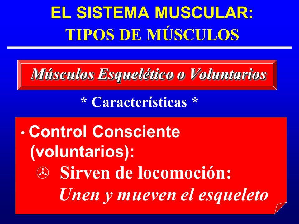 EL SISTEMA MUSCULAR: TIPOS DE MÚSCULOS Músculos Esquelético o Voluntarios Control Consciente (voluntarios): Sirven de locomoción: Unen y mueven el esq