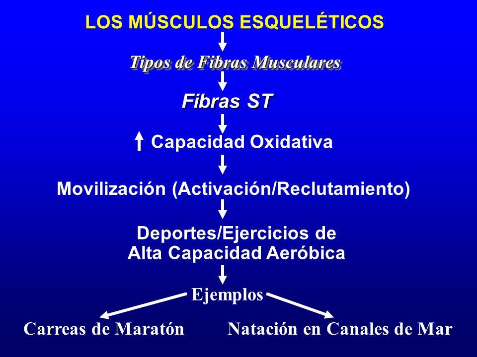LOS MÚSCULOS ESQUELÉTICOS Tipos de Fibras Musculares Movilización (Activación/Reclutamiento) Fibras ST Ejemplos Carreas de Maratón Capacidad Oxidativa