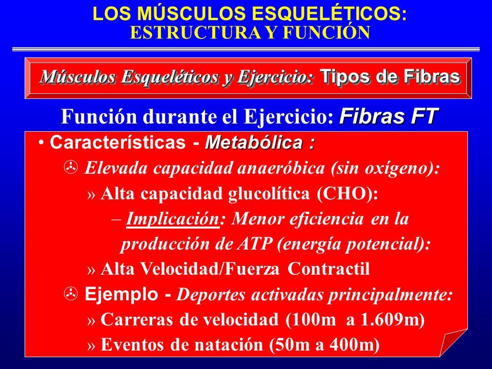LOS MÚSCULOS ESQUELÉTICOS: ESTRUCTURA Y FUNCIÓN Músculos Esqueléticos y Ejercicio: Tipos de Fibras Metabólica : Características - Metabólica : Elevada