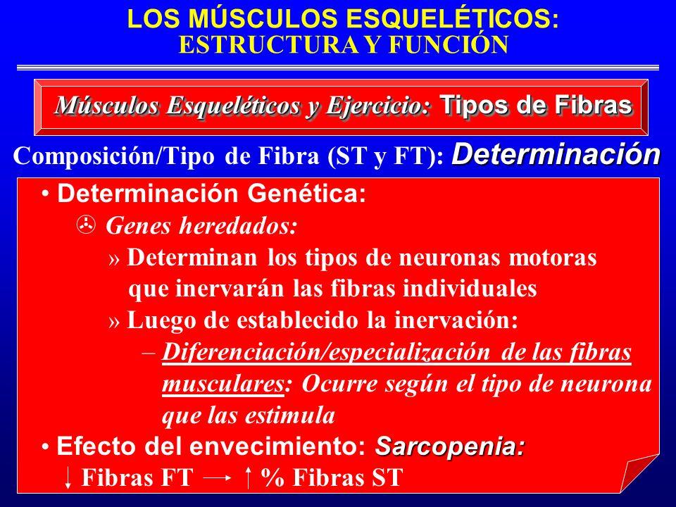 LOS MÚSCULOS ESQUELÉTICOS: ESTRUCTURA Y FUNCIÓN Músculos Esqueléticos y Ejercicio: Tipos de Fibras Determinación Genética: Genes heredados: » Determin