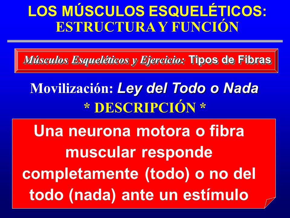 LOS MÚSCULOS ESQUELÉTICOS: ESTRUCTURA Y FUNCIÓN Músculos Esqueléticos y Ejercicio: Tipos de Fibras Una neurona motora o fibra muscular responde comple