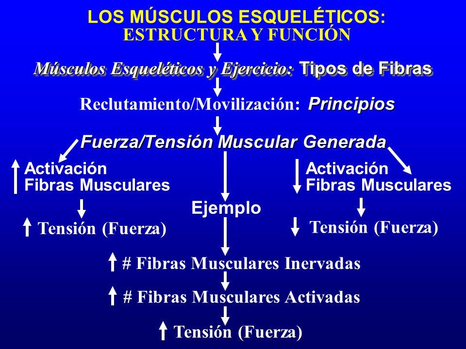 LOS MÚSCULOS ESQUELÉTICOS: ESTRUCTURA Y FUNCIÓN Músculos Esqueléticos y Ejercicio: Tipos de Fibras Activación Fibras Musculares Fuerza/Tensión Muscula