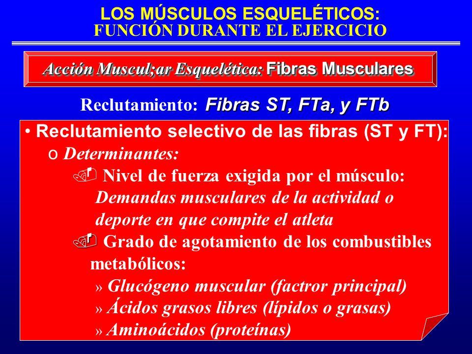 LOS MÚSCULOS ESQUELÉTICOS: FUNCIÓN DURANTE EL EJERCICIO Acción Muscul;ar Esquelética: Fibras Musculares Reclutamiento selectivo de las fibras (ST y FT