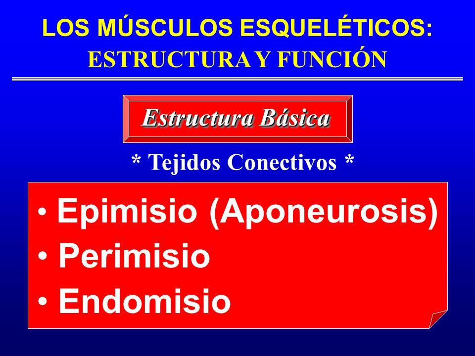 LOS MÚSCULOS ESQUELÉTICOS: ESTRUCTURA Y FUNCIÓN Estructura Básica Epimisio (Aponeurosis) Perimisio Endomisio * Tejidos Conectivos *