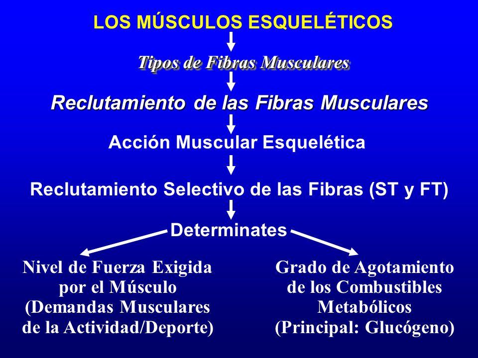 LOS MÚSCULOS ESQUELÉTICOS Tipos de Fibras Musculares Reclutamiento Selectivo de las Fibras (ST y FT) Reclutamiento de las Fibras Musculares Nivel de F