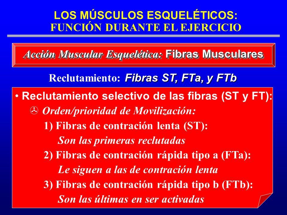 LOS MÚSCULOS ESQUELÉTICOS: FUNCIÓN DURANTE EL EJERCICIO Reclutamiento selectivo de las fibras (ST y FT): Orden/prioridad de Movilización: 1) Fibras de