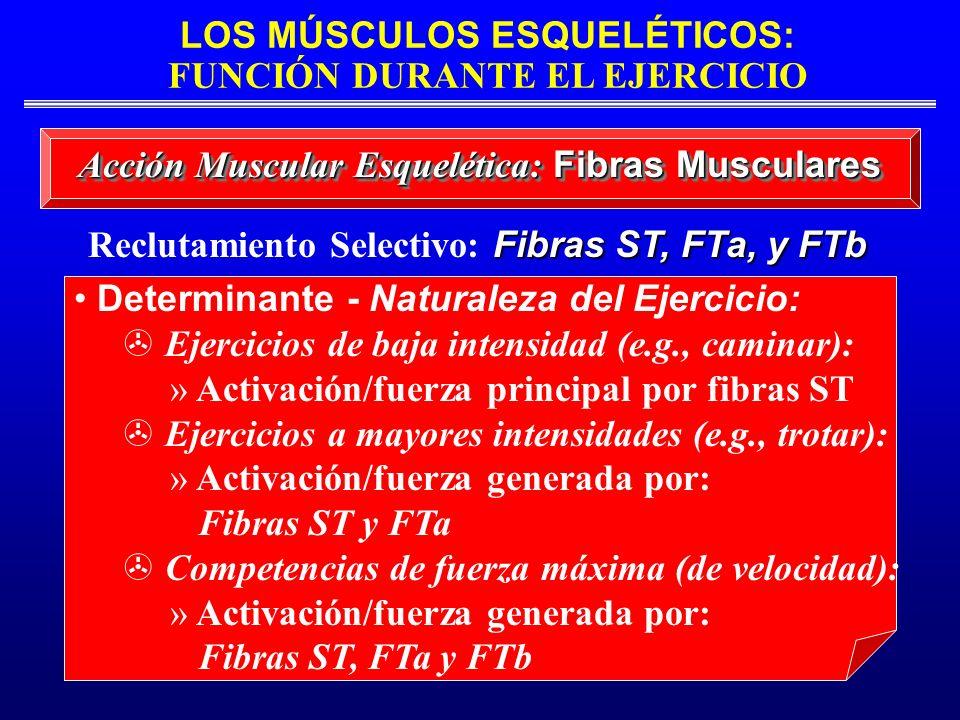 LOS MÚSCULOS ESQUELÉTICOS: FUNCIÓN DURANTE EL EJERCICIO Acción Muscular Esquelética: Fibras Musculares Fibras ST, FTa, y FTb Reclutamiento Selectivo: