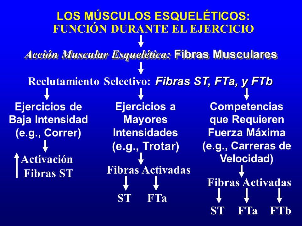 LOS MÚSCULOS ESQUELÉTICOS: FUNCIÓN DURANTE EL EJERCICIO Acción Muscular Esquelética: Fibras Musculares Ejercicios de Baja Intensidad (e.g., Correr) Ac