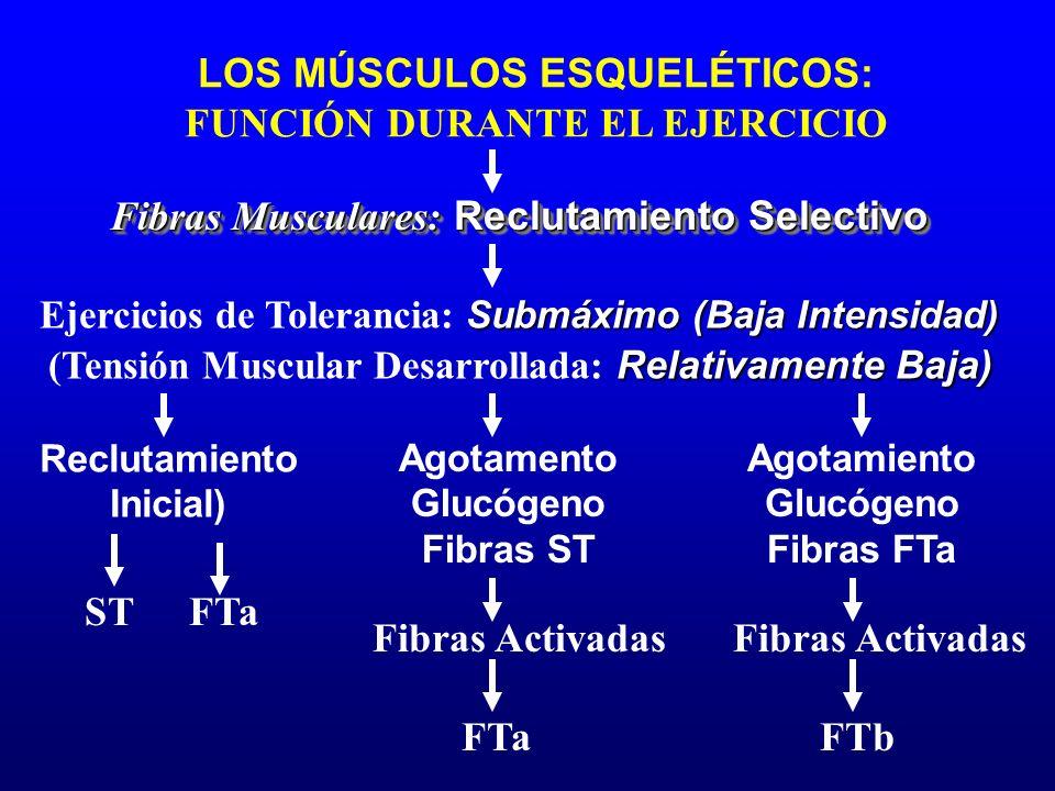 LOS MÚSCULOS ESQUELÉTICOS: FUNCIÓN DURANTE EL EJERCICIO Reclutamiento Inicial) Fibras Activadas FTa Agotamiento Glucógeno Fibras FTa Agotamento Glucóg