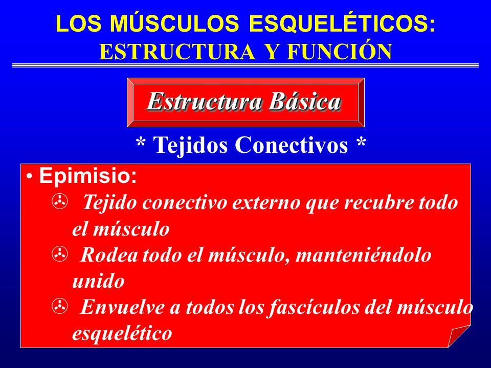LOS MÚSCULOS ESQUELÉTICOS: ESTRUCTURA Y FUNCIÓN Estructura Básica * Tejidos Conectivos * Epimisio: Tejido conectivo externo que recubre todo el múscul