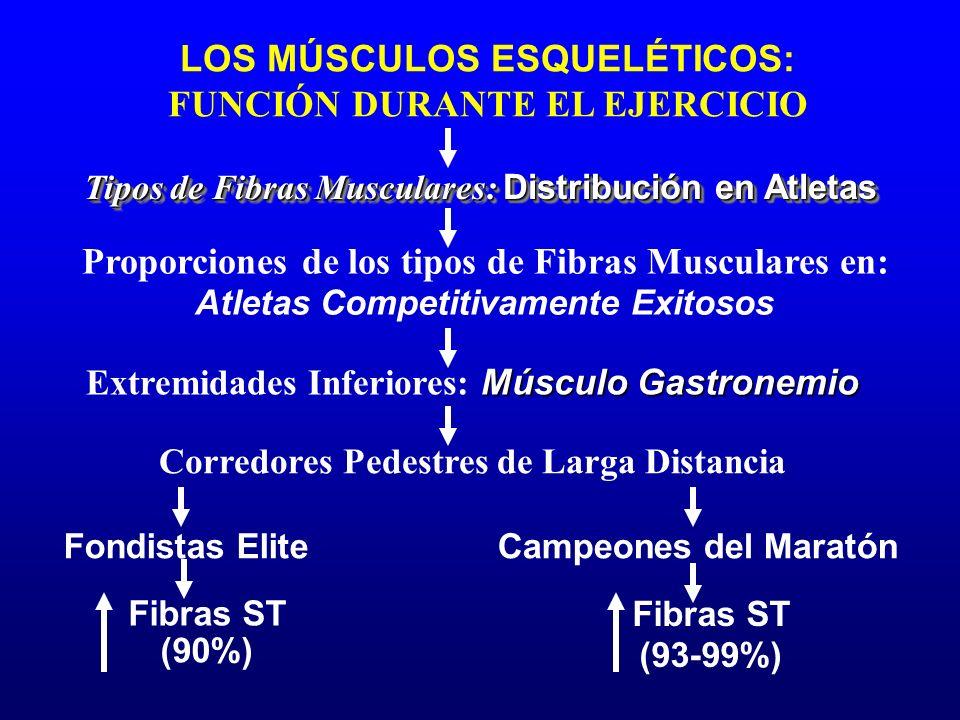 LOS MÚSCULOS ESQUELÉTICOS: FUNCIÓN DURANTE EL EJERCICIO Fondistas Elite Corredores Pedestres de Larga Distancia Tipos de Fibras Musculares: Distribuci