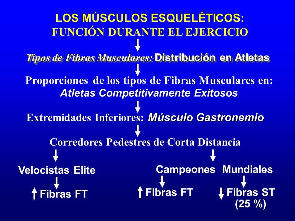 LOS MÚSCULOS ESQUELÉTICOS: FUNCIÓN DURANTE EL EJERCICIO Velocistas Elite Corredores Pedestres de Corta Distancia Tipos de Fibras Musculares: Distribuc
