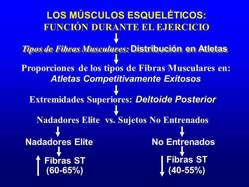 LOS MÚSCULOS ESQUELÉTICOS: FUNCIÓN DURANTE EL EJERCICIO Nadadores Elite Nadadores Elite vs. Sujetos No Entrenados Tipos de Fibras Musculares: Distribu