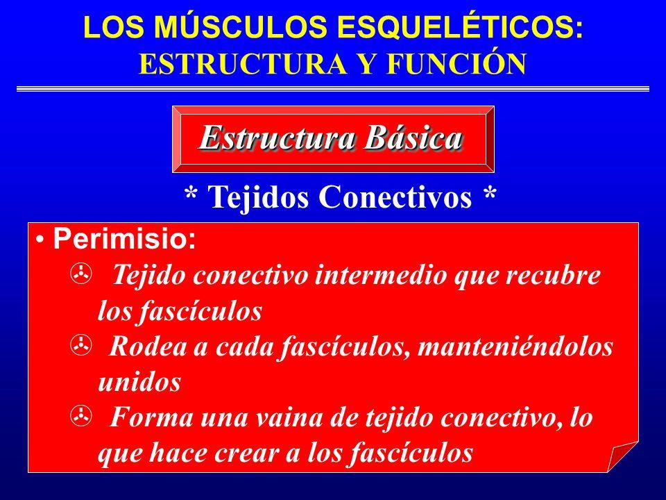 LOS MÚSCULOS ESQUELÉTICOS: ESTRUCTURA Y FUNCIÓN Estructura Básica * Tejidos Conectivos * Perimisio: Tejido conectivo intermedio que recubre los fascíc