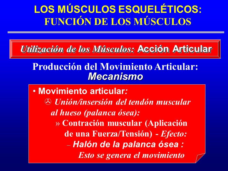 LOS MÚSCULOS ESQUELÉTICOS: FUNCIÓN DE LOS MÚSCULOS Producción del Movimiento Articular: Mecanismo Movimiento articular: Unión/insersión del tendón mus
