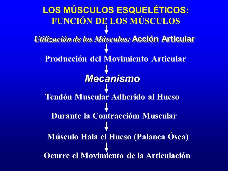 LOS MÚSCULOS ESQUELÉTICOS: FUNCIÓN DE LOS MÚSCULOS Tendón Muscular Adherido al Hueso Utilización de los Músculos: Acción Articular Producción del Movi