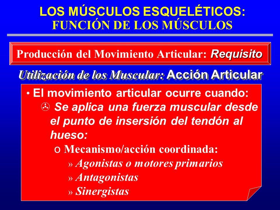 LOS MÚSCULOS ESQUELÉTICOS: FUNCIÓN DE LOS MÚSCULOS Utilización de los Muscular: Acción Articular Requisito Producción del Movimiento Articular: Requis