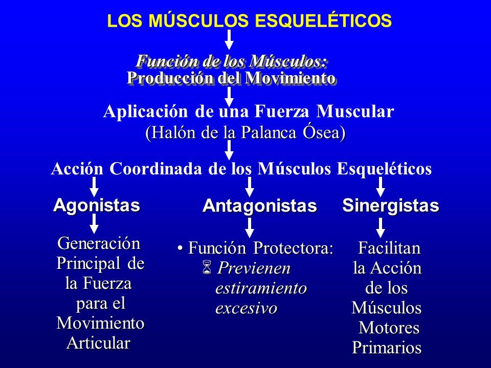 LOS MÚSCULOS ESQUELÉTICOS Función de los Músculos: Producción del Movimiento Función de los Músculos: Producción del Movimiento Aplicación de una Fuer