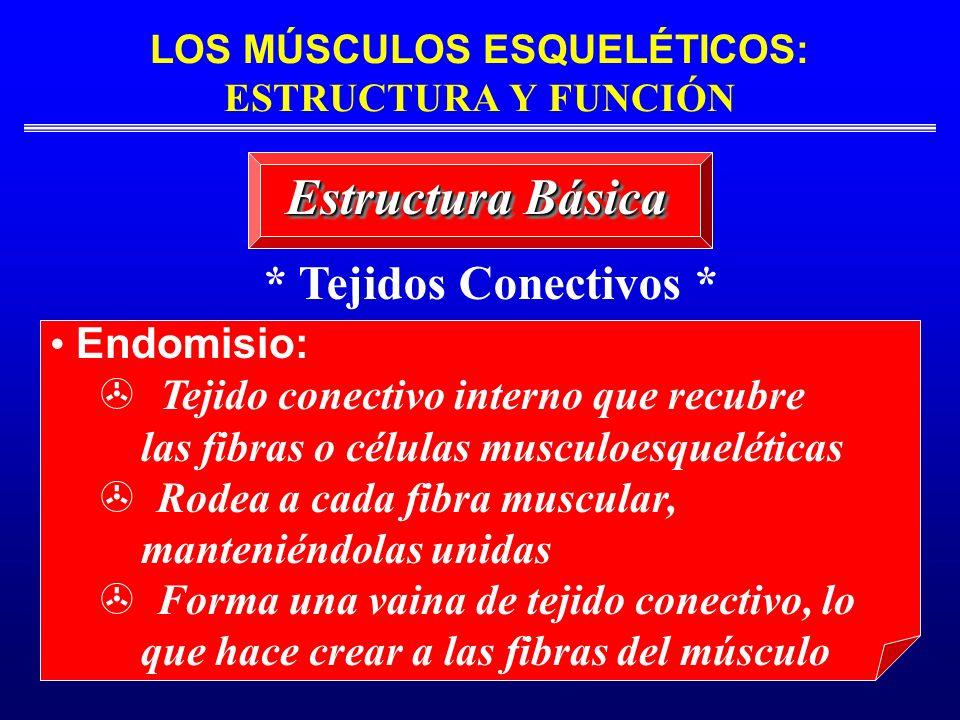LOS MÚSCULOS ESQUELÉTICOS: ESTRUCTURA Y FUNCIÓN Estructura Básica * Tejidos Conectivos * Endomisio: Tejido conectivo interno que recubre las fibras o