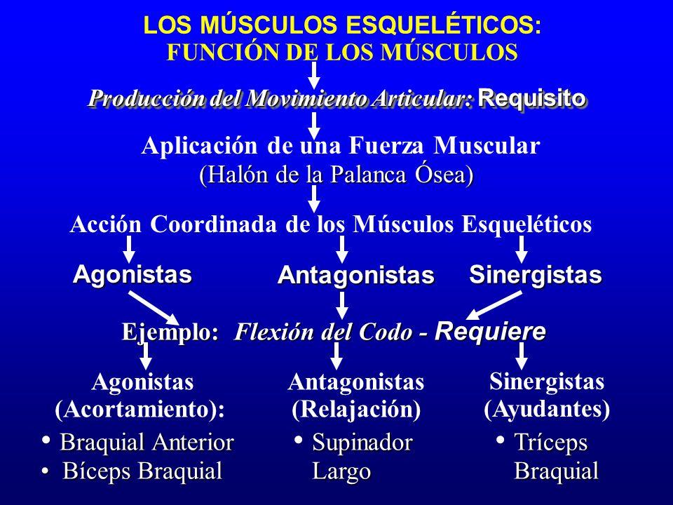 LOS MÚSCULOS ESQUELÉTICOS: FUNCIÓN DE LOS MÚSCULOS Producción del Movimiento Articular: Requisito Aplicación de una Fuerza Muscular (Halón de la Palan