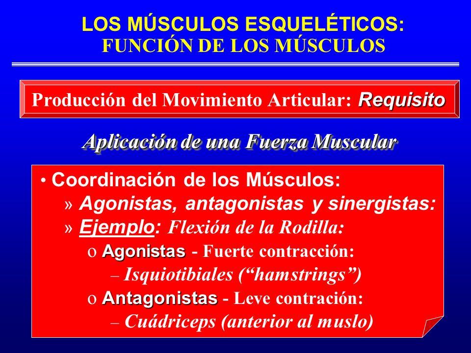 LOS MÚSCULOS ESQUELÉTICOS: FUNCIÓN DE LOS MÚSCULOS Aplicación de una Fuerza Muscular Requisito Producción del Movimiento Articular: Requisito Coordina