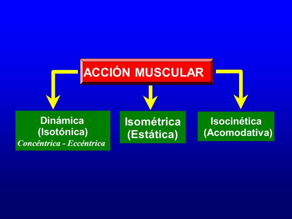 ACCIÓN MUSCULAR Isométrica (Estática) Dinámica (Isotónica) Concéntrica - Eccéntrica Isocinética (Acomodativa)