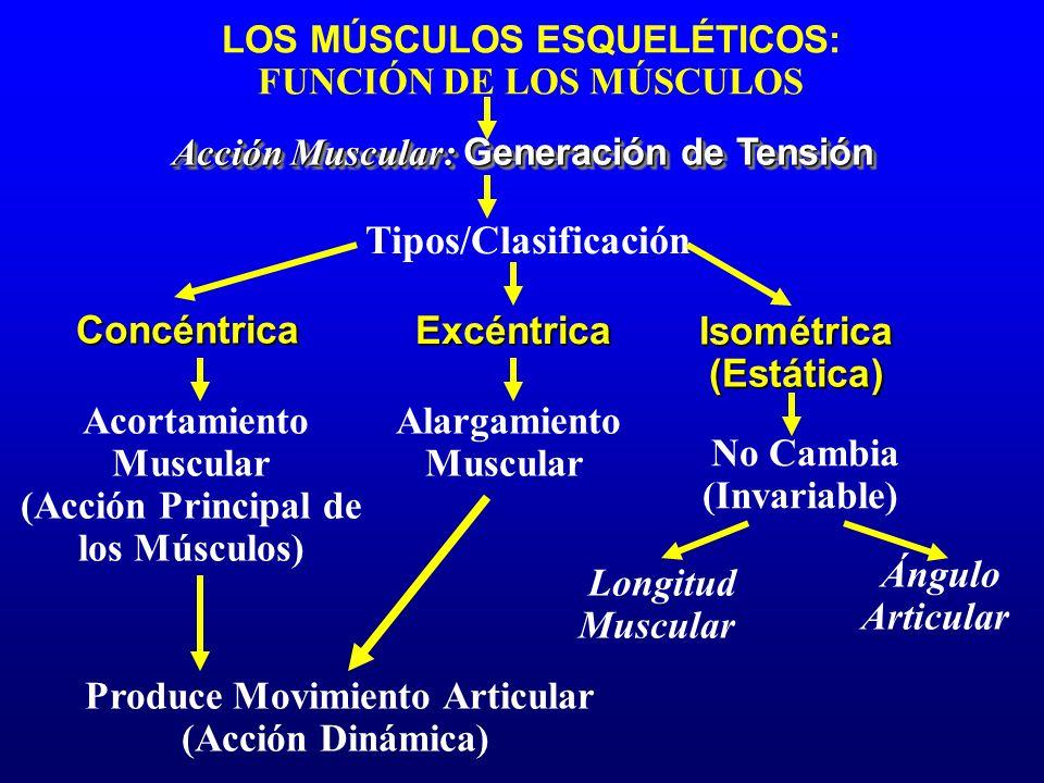 LOS MÚSCULOS ESQUELÉTICOS: FUNCIÓN DE LOS MÚSCULOS Acción Muscular: Generación de Tensión Tipos/Clasificación Concéntrica Isométrica(Estática) Excéntr